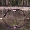 Eagle picture - Wings touches river